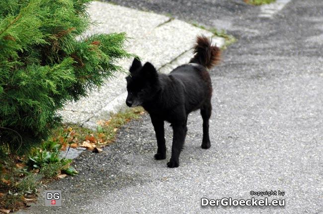 herrenloser Hund auf der B9