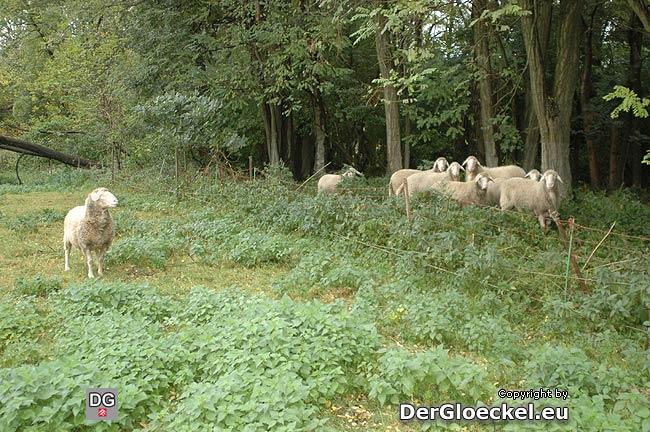 ausgerissene Schafe