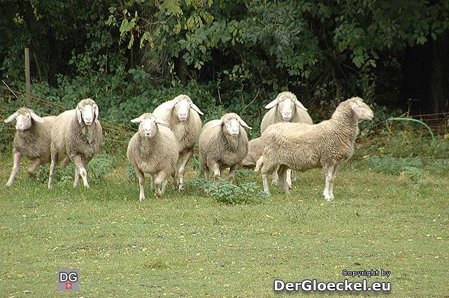 Als sich der Arbeiter den Tieren näherte, stürmten sie den Zaun. Schaf Nummer 3 - rechts hinten im Bild - kommt zu Sturz