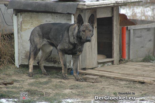 Ein erbärmlicher Eindruck - der angekettete Hund - das ist Tierquälerei
